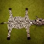 """Zebra v poloze """"mastný flek"""""""